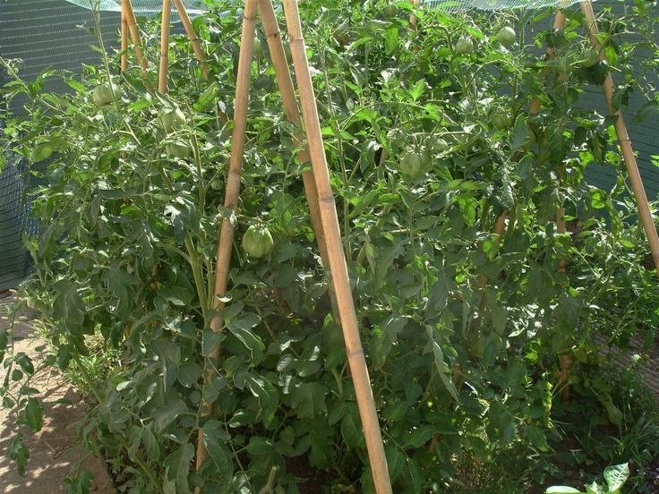 Una parte del jardín está dedicada a huerto. Tomateras de la variedad Montserrat. Clic en al imagen para ver los artículos.