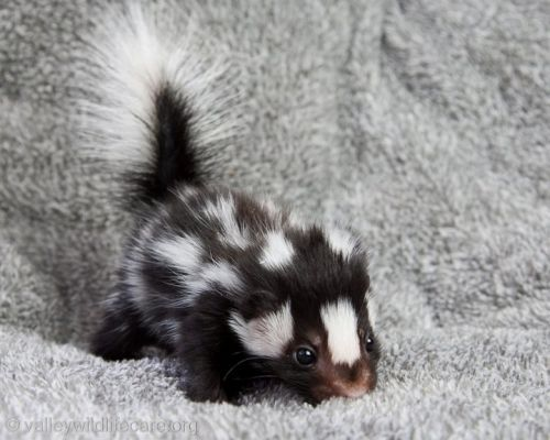 BABY SPOTTED SKUNK! I want one now lolCritter, Skunks Baby, Baby Skunks, Creatures, Baby Spots, Baby Animal,  Polecats, Spots Skunks, Adorable Animal