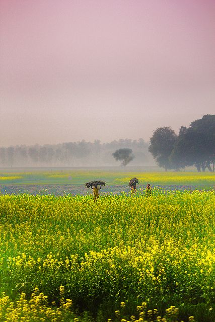 Mustard Fields in India My one very distinct memory of having lived in India for a few years as a child.  I even remember the smells of these fields.