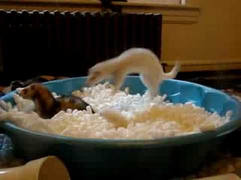 If you're ever having a bad day...just watch this video of ferrets in a pool of packing peanuts.