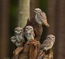 Wildlife Photographer of the Year 2014 :: Finalist, 11-14 Years  Owlets UnitedWhen photographing waterbirds by a coconut grove in southern India, Sitara was excited to see three spotted owlets perched on a dead tree, preening one another. When a few mynas started to mob them, the owlets let out a shrill call. Quickly, two adults joined the young, and all five stood their ground. 'I was moved by their togetherness when in danger,' says Sitara, 'and I wanted to capture the feeling'. To get an…