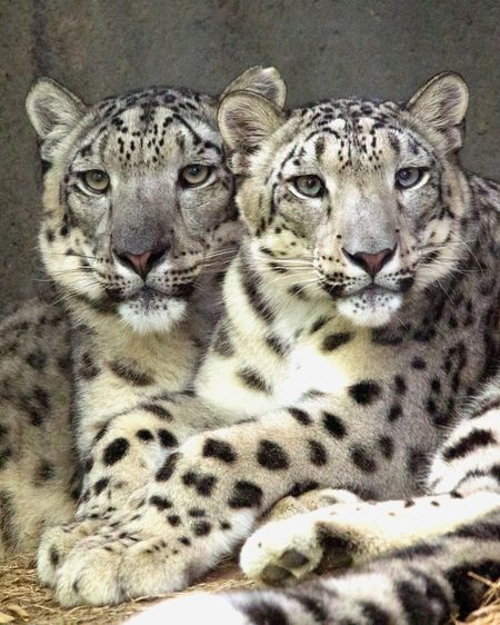 Learn all you wanted to know about snow leopards with pictures, videos, photos, facts, and news from National Geographic.