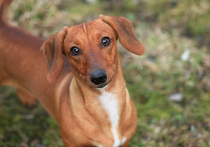 Weiner Vs Wiener And Other Nicknames For A Dachshund Dog Teeth