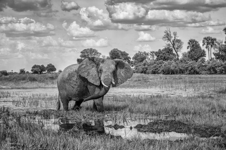 BW animal print of an elephant bull crossing water at Chitabe camp. Wildlife image by Dave Hamman