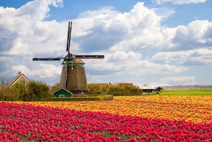 Offrez-vous une paisible balade dans les champs de tulipes multicolores qui…