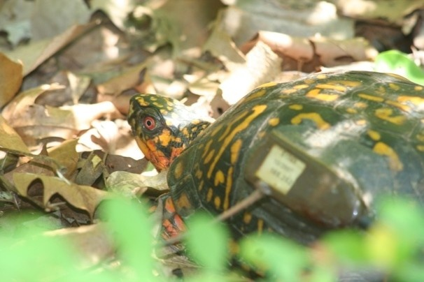 Yikes! Deadly virus hits Maryland Turtles and Tadpoles