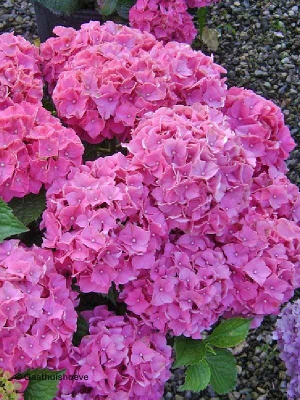 Bladverliezend hortensia kopen. De Hydrangea Forever&Ever Pink winterhard en uitbundige bloei.