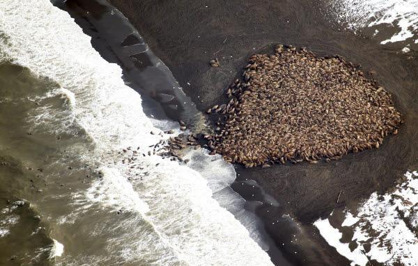 빙하가 녹아서 갈 곳 없어진 바다코끼리 '난민'들이 알래스카 섬에 3만5000마리나 몰려들었습니다. http://goo.gl/vqgjiK