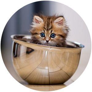 Dieta cozida para gatos   Cachorro Verde