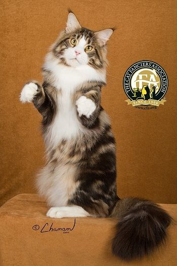 the maine coon cat is the native american long haired cat and was ... - #maincooncats - Different type of Main Coon Cat Breeds at Catsincare.com