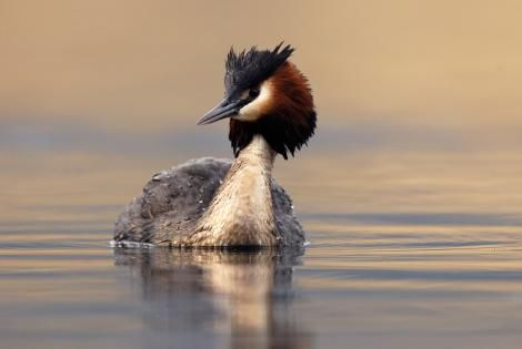 Australasian crested grebe. Adult. Lake Dunstan Central Otago, January 2010. Image © Craig McKenzie by Craig McKenzie Craig McKenzie