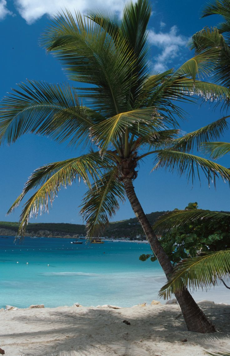 White sand beach with palm tree, Antigua copyright: Antigua & Barbuda Tourism Authority