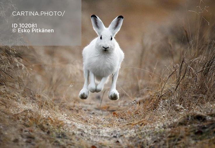 Jänis juoksee kohti (102081). eläin, juoksee, jänis, jänis vauhdissa, lepus timidus, metsäjänis
