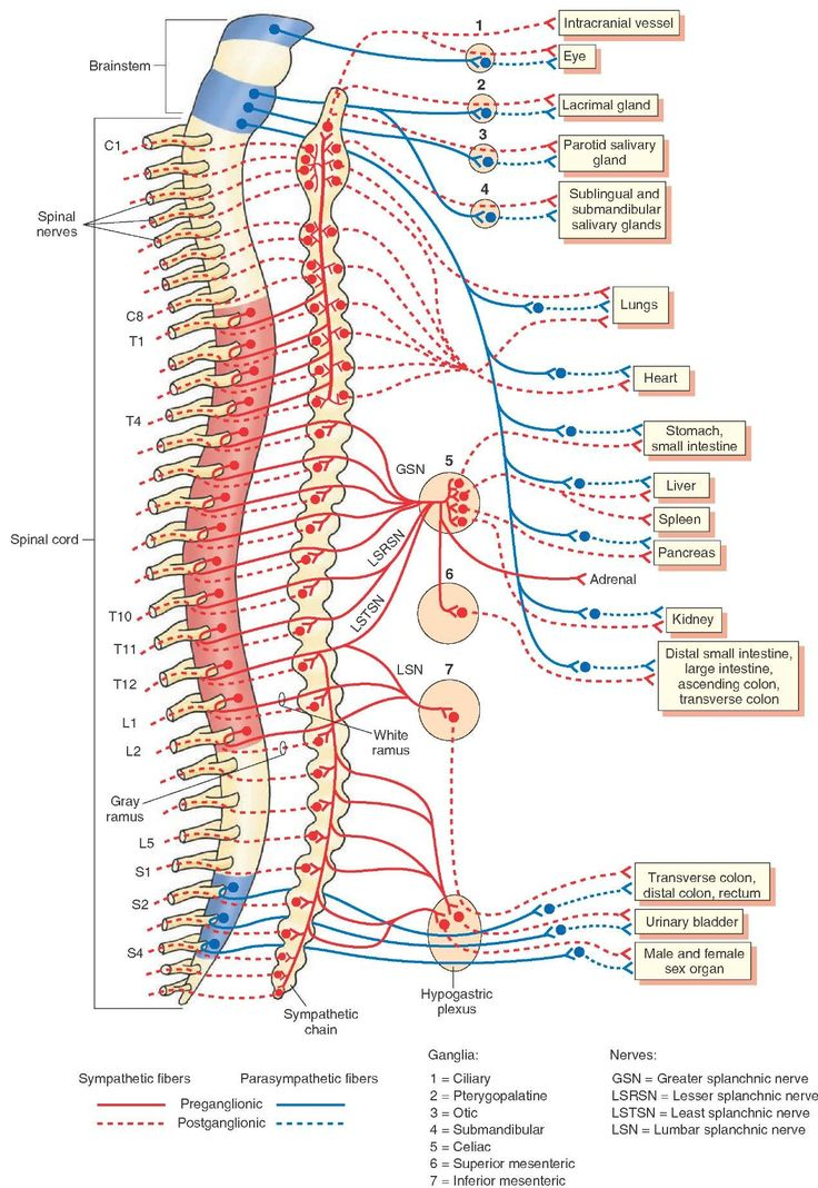 An overview of the sympathetic and parasympathetic components of the autonomic nervous system. Red = thoracolumbar division; Blue = craniosacral division. C = cervical; T = thoracic; L = lumbar; S = sacral spinal segments.