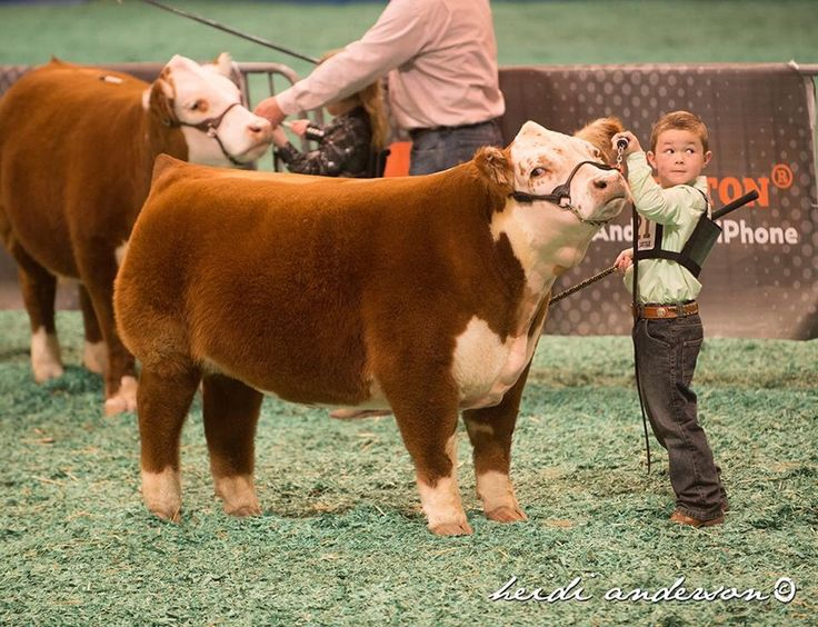 From Legacy Livestock Imaging | Mini Herefords At Houston Livestock Show by MLC | Cattle BlogsCattle Blogs