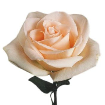 FiftyFlowers.com - Osiana Peach Wholesale Rose   200 Medium Stemmed Roses for $219.99