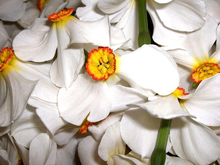 Narcisi per l'estratto idroglicerico di Narciso che andrà nella linea Narciso Sublime