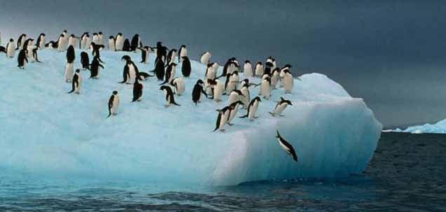 Los pingüinos se sitúan en un alto nivel trófico dentro de la red alimenticia y son potenciales centinelas de contaminación