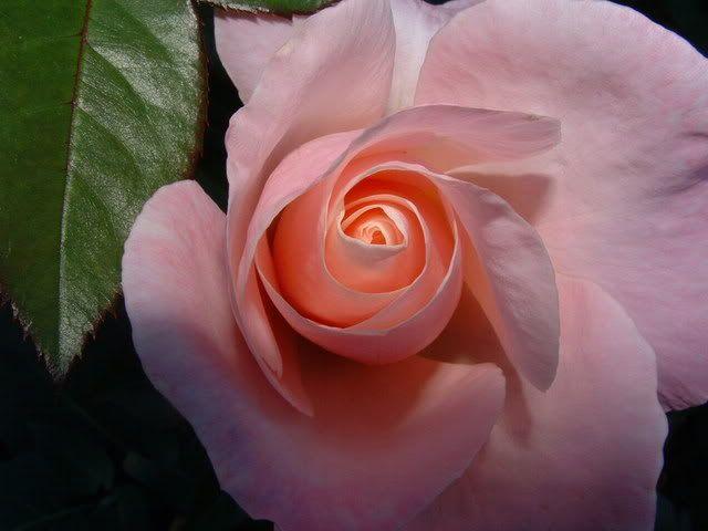Audrey Hepburn tea rose...love!: Hepburn Rose, Amazing Roses, Beautiful Roses, Celebrity Roses, Audrey Hepburn, Tea Roses, Beautiful Flowers, Rose Garden