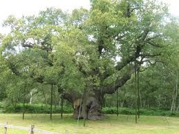 The Major Oak in Sherwood Forest.