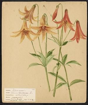 From the collection at Andersen Horticultural Library. Agnes Williams (1860-1946), a watercolorist from Bucks Co., PA, created a wildflower portfolio during the 1880s and 1890s. Emma painted Lilium Canadense (Nodding Lily) in Centre Bridge, PA. It is dated July 8, 1886.