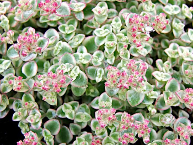 212 Best Images About Sedum On Pinterest Green Flats