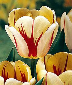 Class 4: Darwin Hybrid Tulips ' Burning Heart'