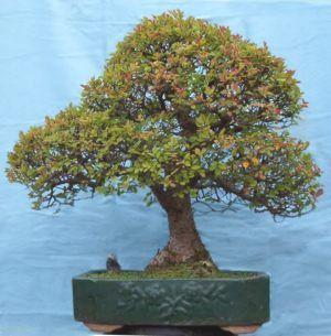Chinese Elm Bonsai   Ulmus parvifolia/ Chinese Elm Bonsai