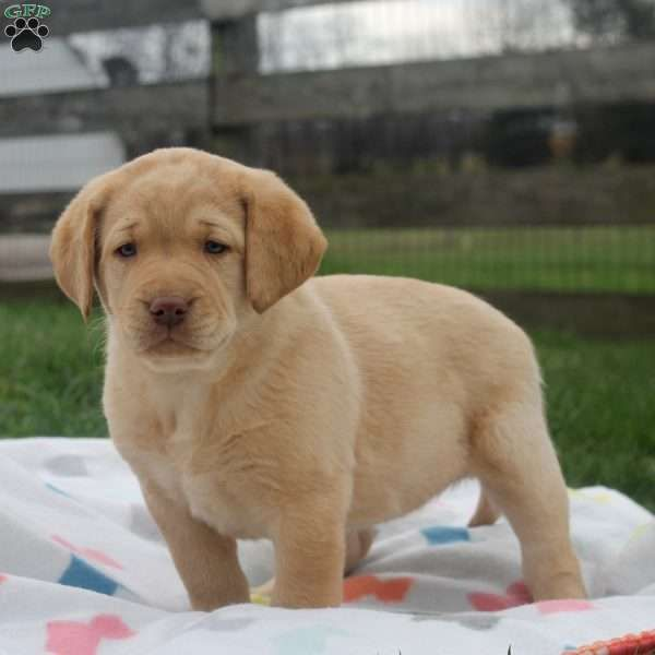Ottavia, Labrador Retriever-Yellow Puppy