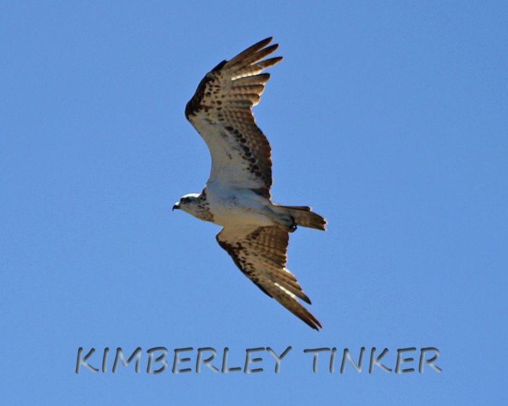 Osprey Eagle Western Australia