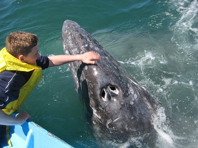 Boy stroking Gray Whale of Baja ~ amazing shot of the blow holes!