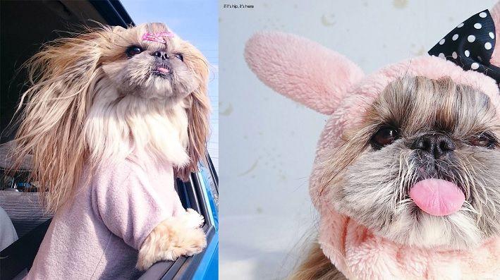"15 Cutest Photo Of Japanese Hairstyle Dog ""Kuma"" Instagram Star"