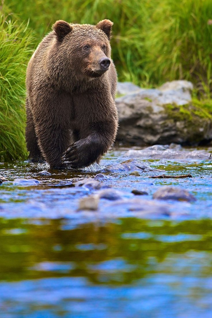 Grizzly bear. Photos, Bucks Shreck, Wild Life, Animal Kingdom, Search, Beautiful, Brown Bears, Grizzly Bears, Wildlife Inspiration