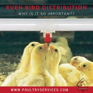 The Importance Of Even Bird Distribution - http://www.poultryservices.com/blog/the-importance-of-even-bird-distribution