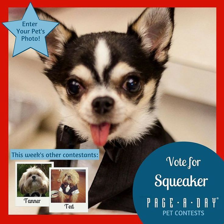 Squeaker was a champion show dog until his retirement. Although currently blind from Rocky mountain tick fever this hasnt slowed him down! Vote for Top Dog! http://ift.tt/1P29vGs #365Dogs #petsofpageaday #DogsofInstagram #DogsofPageADay #DogsofInstaworld #dogs_of_instagram #petstagram #dogstagram #instagramdogs #doglover #instadog #instapet #dogcontest #blacklab #petcontest #dogcontest #dogphoto #dogpic
