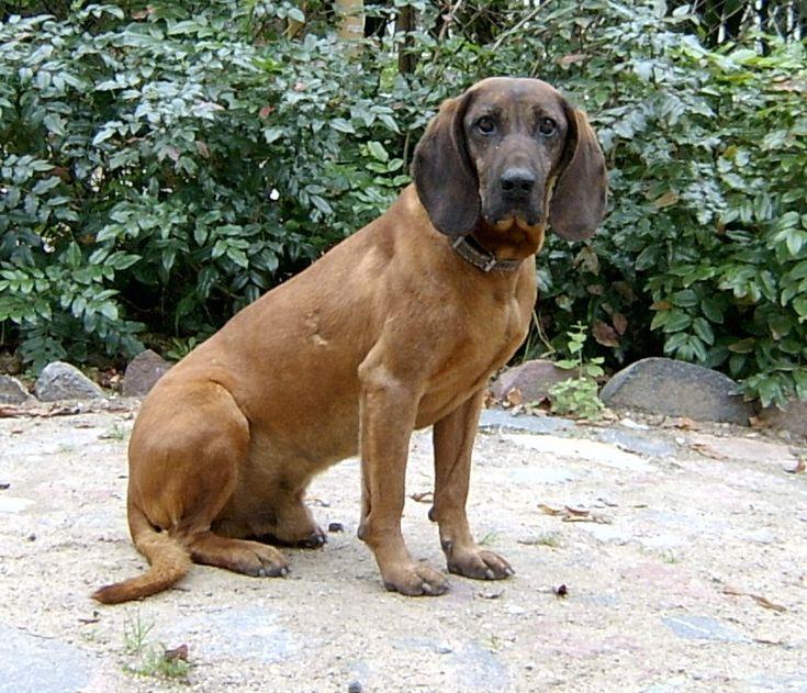 Schweißhund