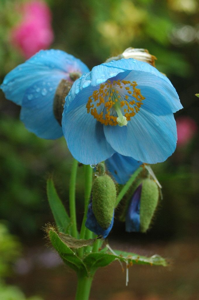 Himalayan Blue Poppy Bouquet 221 best ⚘ M ...