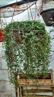 Arboretum Brasil: Othonna capensis (Colar-de-rubi)