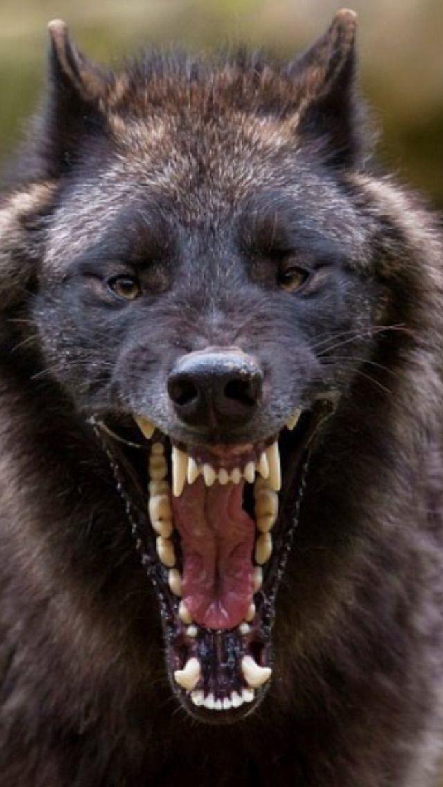 The world's most terrifying yawn! Wolf Yawn ~ | aww | Wolf ...