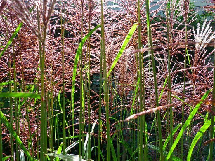 """Miscanthus sinensis """"Malepartus"""" is een grote siergrassoort die 200 cm hoog kan worden, krijgt rood/bruine bloeiaren."""