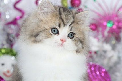 Cozy Kittens Cattery - Teacup Persian Kittens