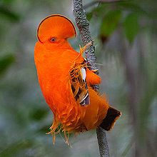 The Guianan Cock-of-the-rock, is a South American passerine about 30cm (12in) in length. The bright orange male has an extraordinary half-moon crest, which is used in competitive displays and to attract a female.