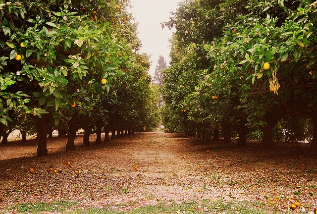 Orange groves are beautiful
