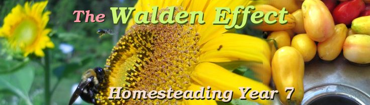 The Walden Effect: Homesteading Year 5. Farming, simple living, permaculture, and invention.