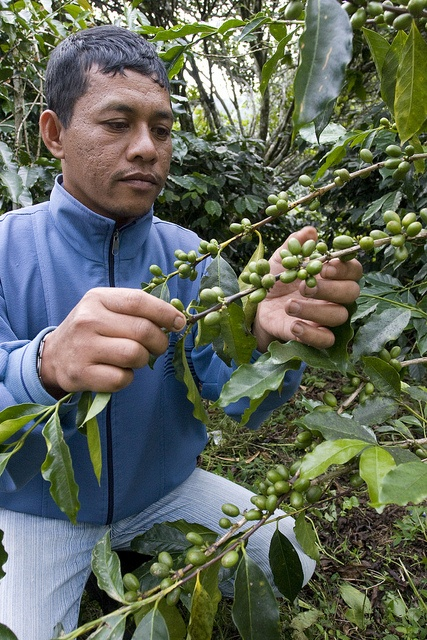 Coffee farmers in Aceh (Indonesia) now have a better future with USAID-supported organic coffee production in Aceh.