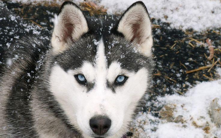 perro husky siberiano fondo blanco - Buscar con Google