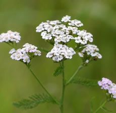 Pure Yarrow Oil - from Bulk Apothecary -  .5 oz - $27.16 - It can also be seen in small amounts in many cosmetics and skin care products for relief of dry skin.