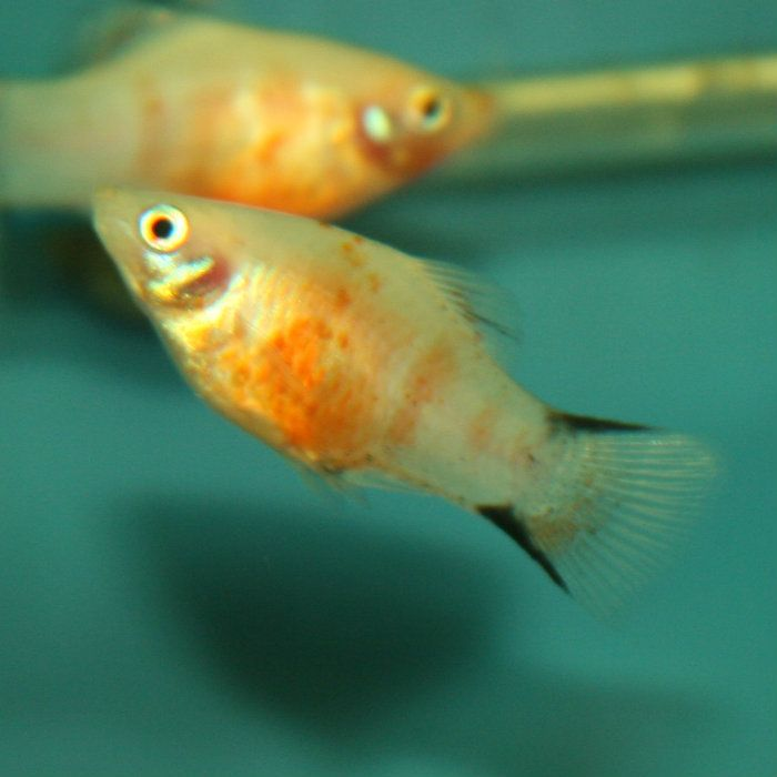 149 best platy fish images on pinterest fish aquariums for Common freshwater aquarium fish