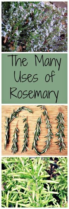All about rosemary, one of my very favorite herbs!