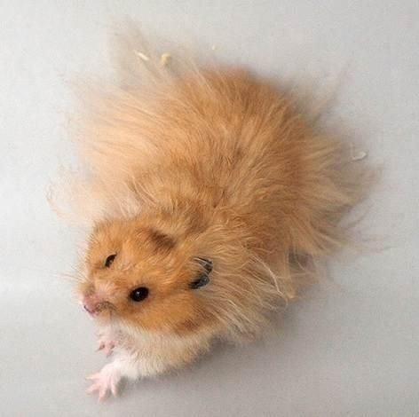 25+ best Long Haired Hamster ideas - 21.4KB